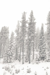 Snowy trees at Mount Shasta